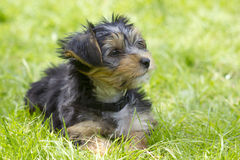 Yorkshire Terrier Lizenzfreie Stockfotos