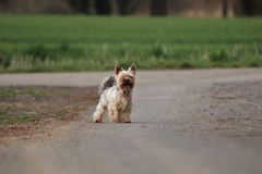 Yorkshire Terrier Obraz Stock