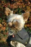 Yorkshire terrier Imagens de Stock Royalty Free