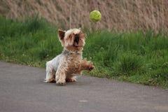 Yorkshire terrier Foto de Stock