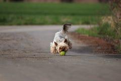 Yorkshire terrier Imagens de Stock