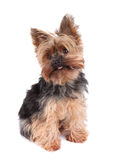 Yorkshire Terrier Fotografia Stock
