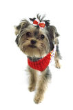Yorkshire Terrier. Puppy, red bow Stock Photos