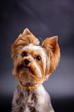 Yorkshire Terrier Fotografia Royalty Free