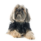 Yorkshire Terrier Image stock