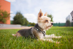 Yorkshire Terrier Royaltyfri Fotografi