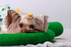 Yorkshire Terrier Royalty Free Stock Photo