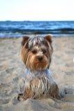 Yorkshire Terrier Fotografia Royalty Free
