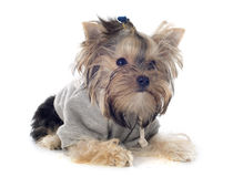 Yorkshire Terrier Obrazy Royalty Free