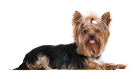 Yorkshire Terrier Imagen de archivo libre de regalías