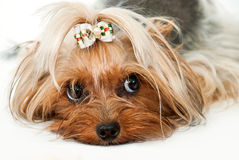 Yorkshire terrier Fotos de Stock Royalty Free
