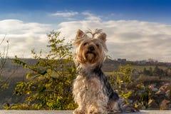 Yorkshire Terrier Arkivfoton
