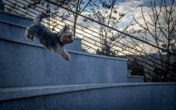 Yorkshire Terrier Stock Afbeelding