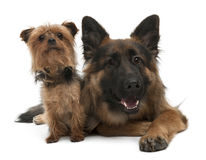 Yorkshire Terrier, 5 years old and German Shepherd. 10 years old, in front of white background Royalty Free Stock Photos