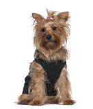 Yorkshire terrier, 5 years old, sitting Stock Photography