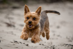 Yorkshire Terrier Stock Foto's