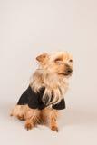 Yorkshire Terrier Royalty-vrije Stock Foto