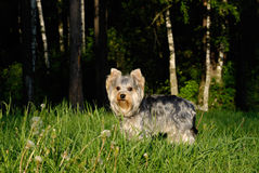 A Yorkshire terrier. In the forest lit by the setting sun Stock Images