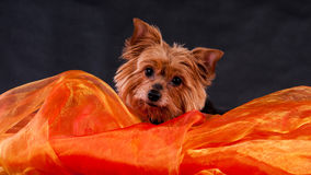 Yorkshire Terrier Lizenzfreie Stockfotos