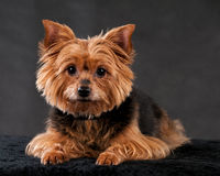 Yorkshire Terrier Royalty-vrije Stock Fotografie