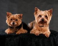Yorkshire Terrier Stockfoto