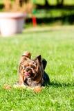 Yorkshire Terrier Stockfotografie