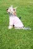 Yorkshire Terrier Arkivfoto
