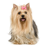Yorkshire-Terrier (6 Jahre) stockfotos