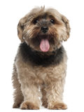 Yorkshire Terrier, 6 years old, sitting Stock Photo