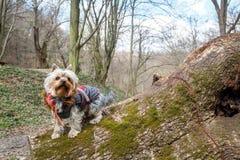 Yorkshire Terrier Foto de archivo libre de regalías