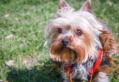 Yorkshire Terrier Royaltyfria Foton