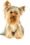 Yorkshire terrier. Purebred dog (Yorkshire terrier) isolated on white Stock Image