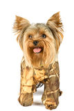 Yorkshire terrier. Purebred dog (Yorkshire terrier) isolated on white Royalty Free Stock Photos