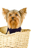 Yorkshire terrier. Purebred dog (Yorkshire terrier) in jacket isolated on white Stock Photos