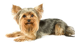 Yorkshire terrier. Purebred dog (Yorkshire terrier) isolated on white Stock Photos