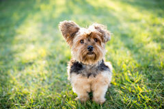 Yorkshire terrier foto de stock royalty free