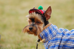 Yorkshire terrier. Beautiful yorkshire terrier in a hat Stock Photo