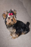 Yorkshire terrier Foto de Stock Royalty Free