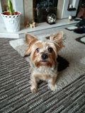 Yorkshire Terrier Stockbilder