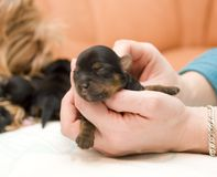YORKSHIRE TERRIER (7 DAYS) stock images