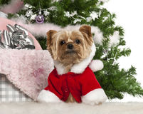 Yorkshire Terrier, 7 years old, with Christmas Stock Photos