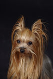 Yorkshire Terrier. Four years old female Yorkshire-Terrier Stock Photos