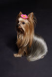 Yorkshire Terrier. Four years old female Yorkshire-Terrier Stock Images