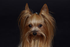 Yorkshire Terrier. Four years old female Yorkshire-Terrier Royalty Free Stock Photo