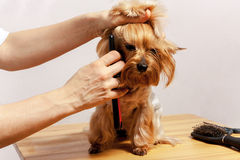 Yorkshire terrier Fotografia de Stock Royalty Free