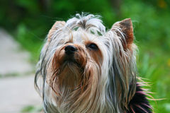 Yorkshire terrier. On a trees background Royalty Free Stock Images