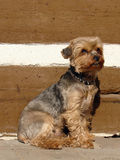Yorkshire terrier. Sitting Royalty Free Stock Photo