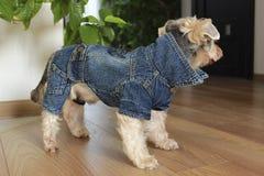 Yorkshire Terrier Fotografering för Bildbyråer