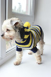 Yorkshire terrier Fotografia Stock
