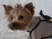 Yorkshire Terrier Royaltyfria Bilder